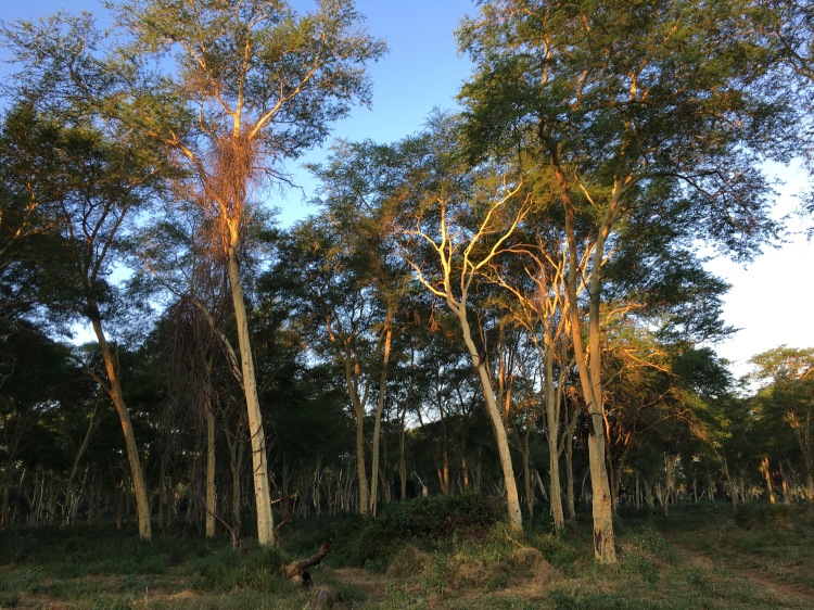Pafuri's legendary fever tree forest at dusk.jpg
